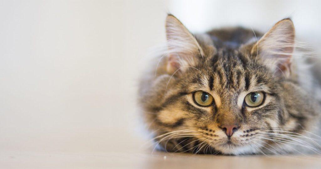 Macska immunerősítés